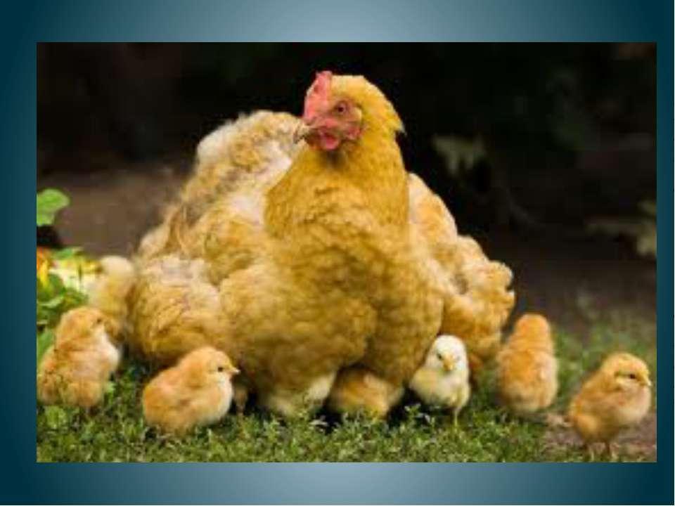 Курица с цыплятами Куд-куда? Куд-куда? Ну-ка, ну-ка, все сюда! Ну-ка, к маме ...