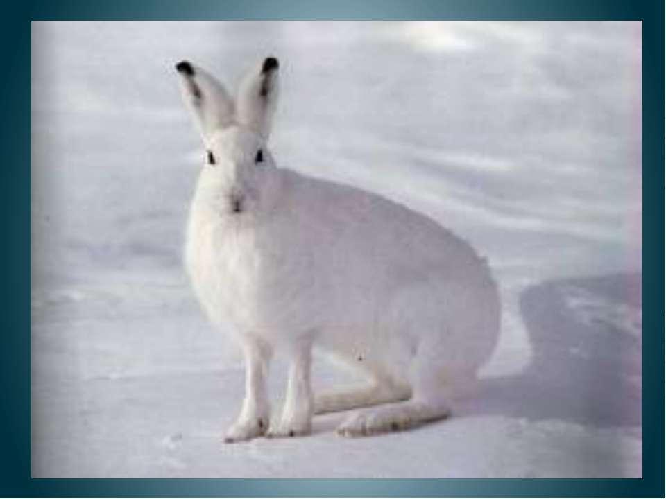 Заяц По Е. Чарушину Шуба у зайки теплая-теплая, белая-белая. Шуба зайку от мо...