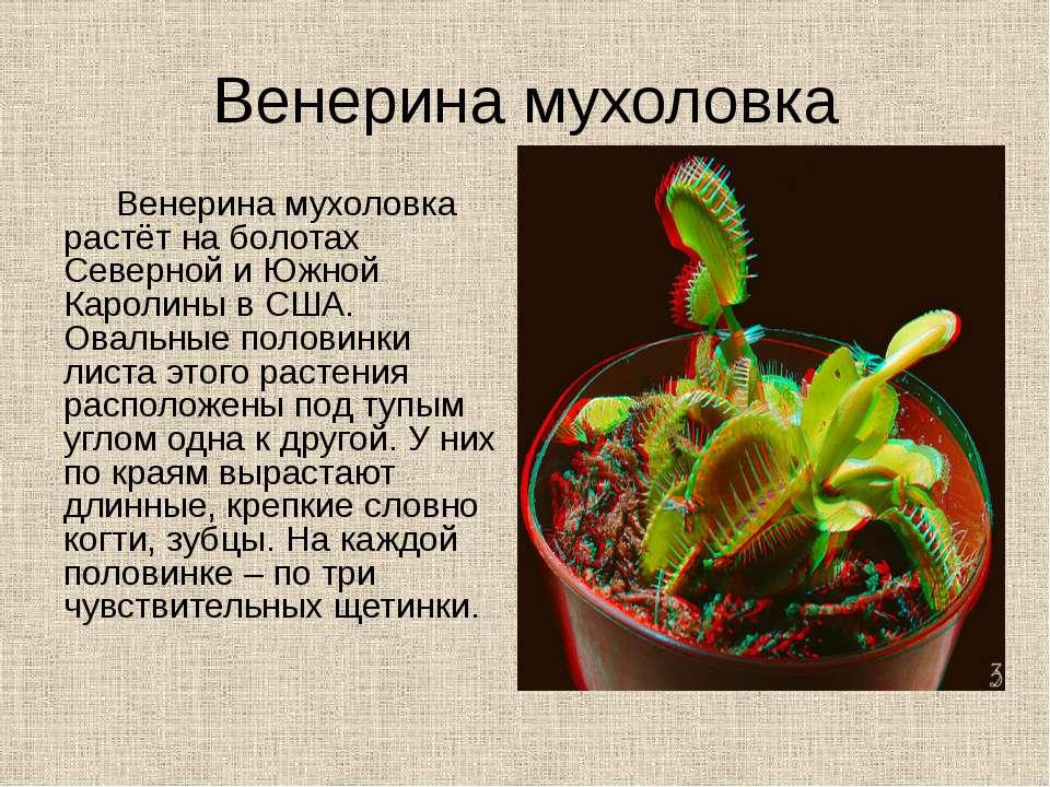 Венерина мухоловка Венерина мухоловка растёт на болотах Северной и Южной Каро...