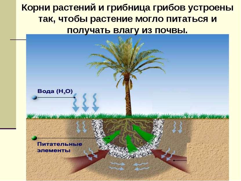 Корни растений и грибница грибов устроены так, чтобы растение могло питаться ...