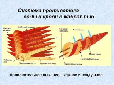 Система противотока воды и крови в жабрах рыб Дополнительное дыхание – кожное...