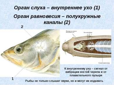 Орган слуха – внутреннее ухо (1) Орган равновесия – полукружные каналы (2) 1 ...