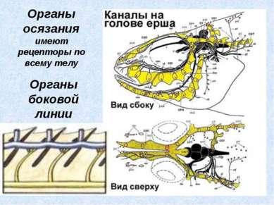 Органы боковой линии Органы осязания имеют рецепторы по всему телу