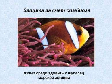 живет среди ядовитых щупалец морской актинии Защита за счет симбиоза