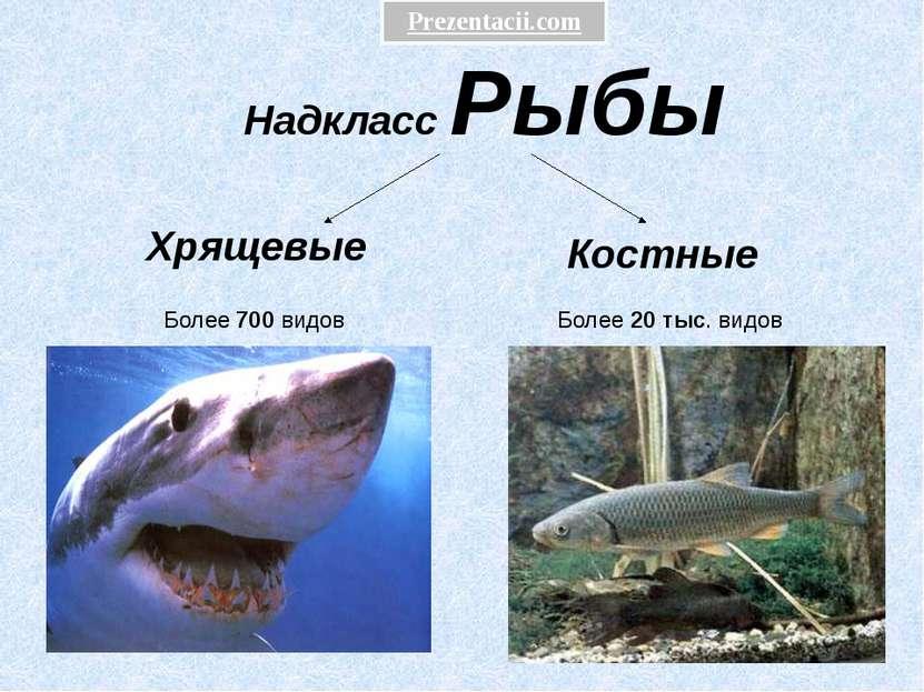 Надкласс Рыбы Хрящевые Костные Более 700 видов Более 20 тыс. видов Prezentaci...