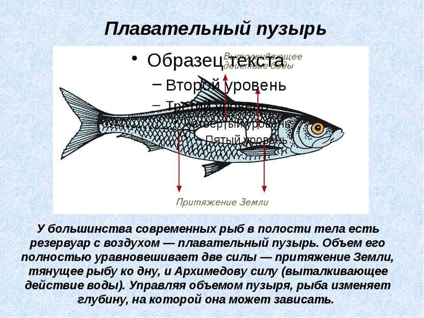 У большинства современных рыб в полости тела есть резервуар с воздухом — плав...