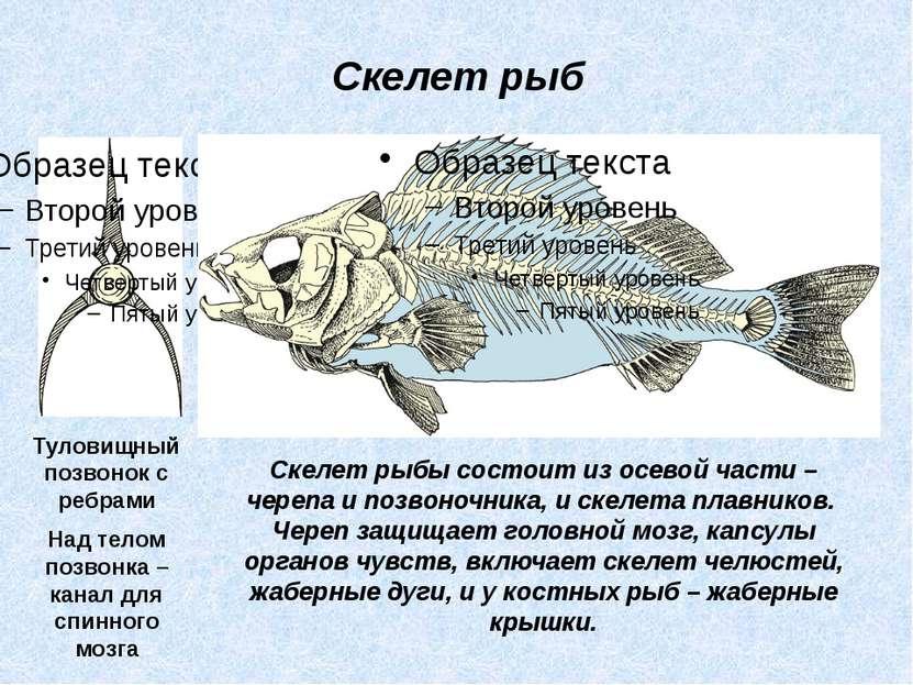 Скелет рыбы состоит из осевой части – черепа и позвоночника, и скелета плавни...
