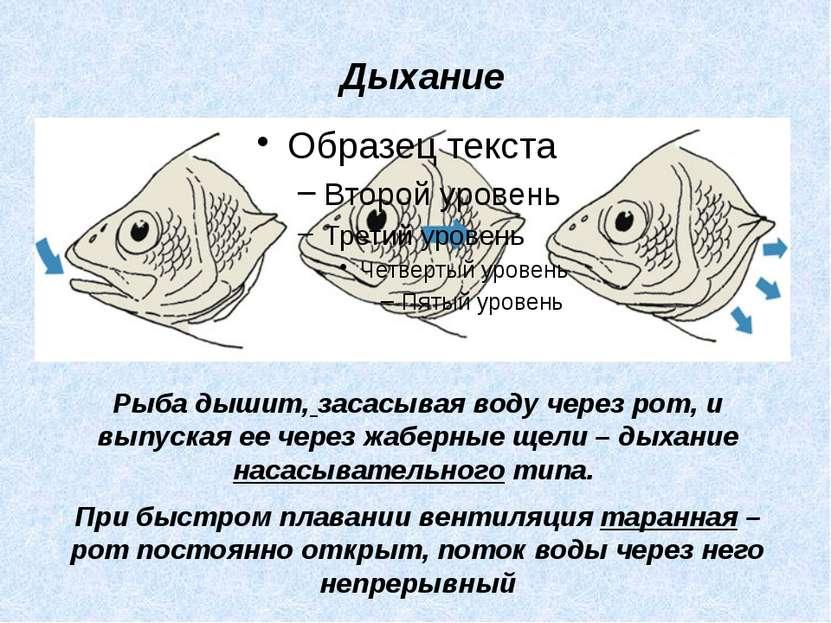 Рыба дышит, засасывая воду через рот, и выпуская ее через жаберные щели – дых...
