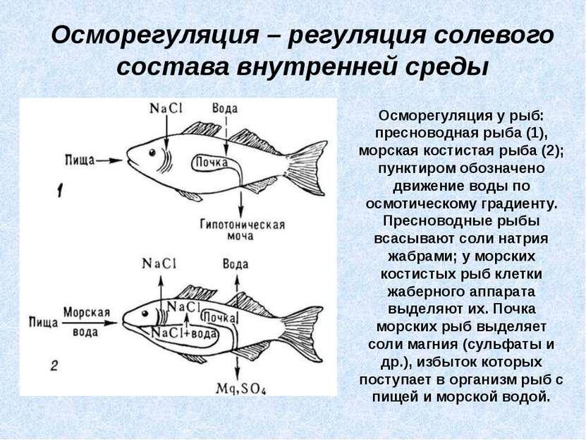 Осморегуляция – регуляция солевого состава внутренней среды Осморегуляция у р...