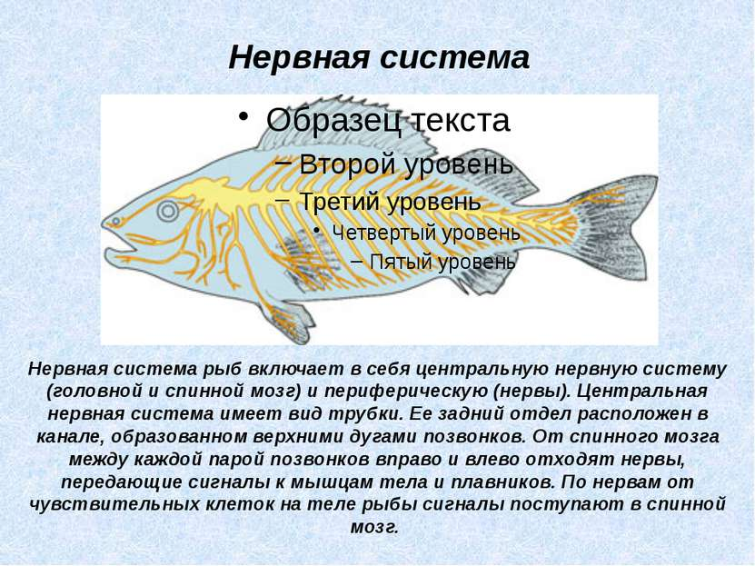 Нервная система рыб включает в себя центральную нервную систему (головной и с...