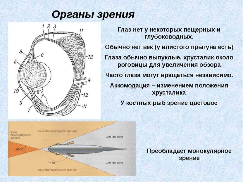 Органы зрения Глаз нет у некоторых пещерных и глубоководных. Обычно нет век (...