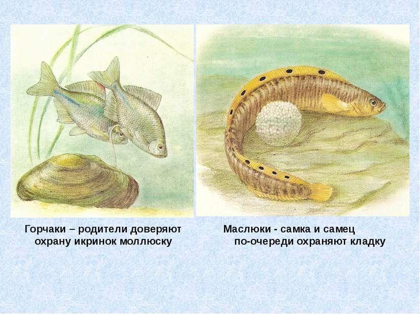 Горчаки – родители доверяют охрану икринок моллюску Маслюки - самка и самец п...