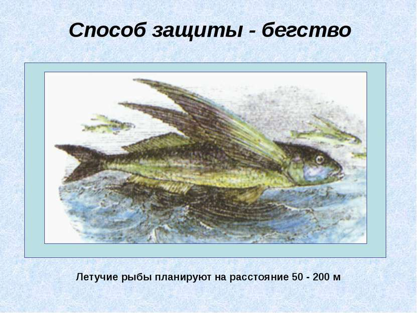 Способ защиты - бегство Летучие рыбы планируют на расстояние 50 - 200 м