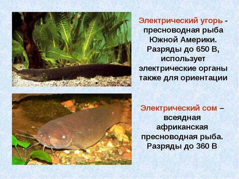 Электрический сом – всеядная африканская пресноводная рыба. Разряды до 360 В ...