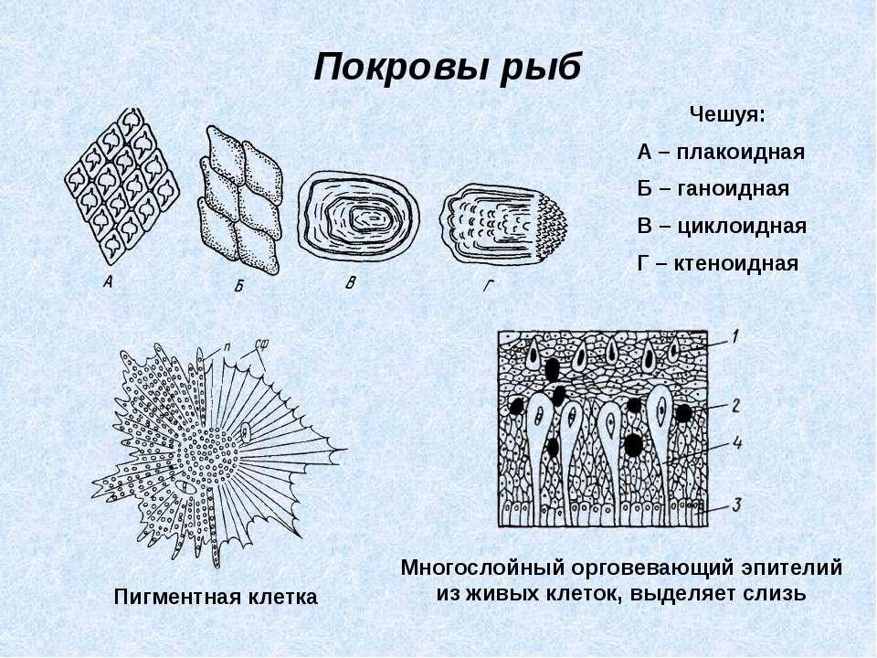 Покровы рыб Чешуя: А – плакоидная Б – ганоидная В – циклоидная Г – ктеноидная...