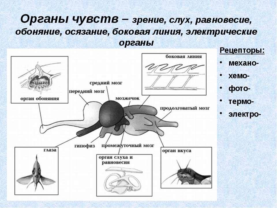Органы чувств – зрение, слух, равновесие, обоняние, осязание, боковая линия, ...