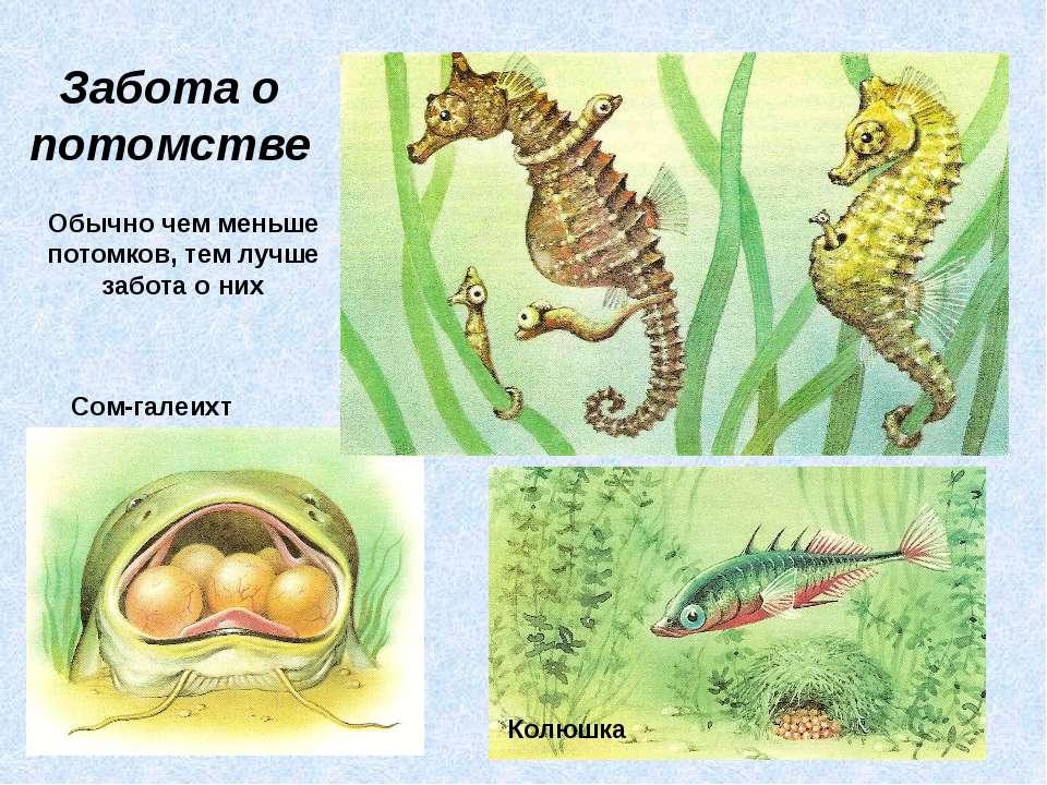 Забота о потомстве Сом-галеихт Колюшка Обычно чем меньше потомков, тем лучше ...