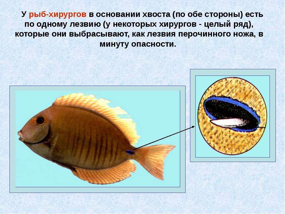 У рыб-хирургов в основании хвоста (по обе стороны) есть по одному лезвию (у н...