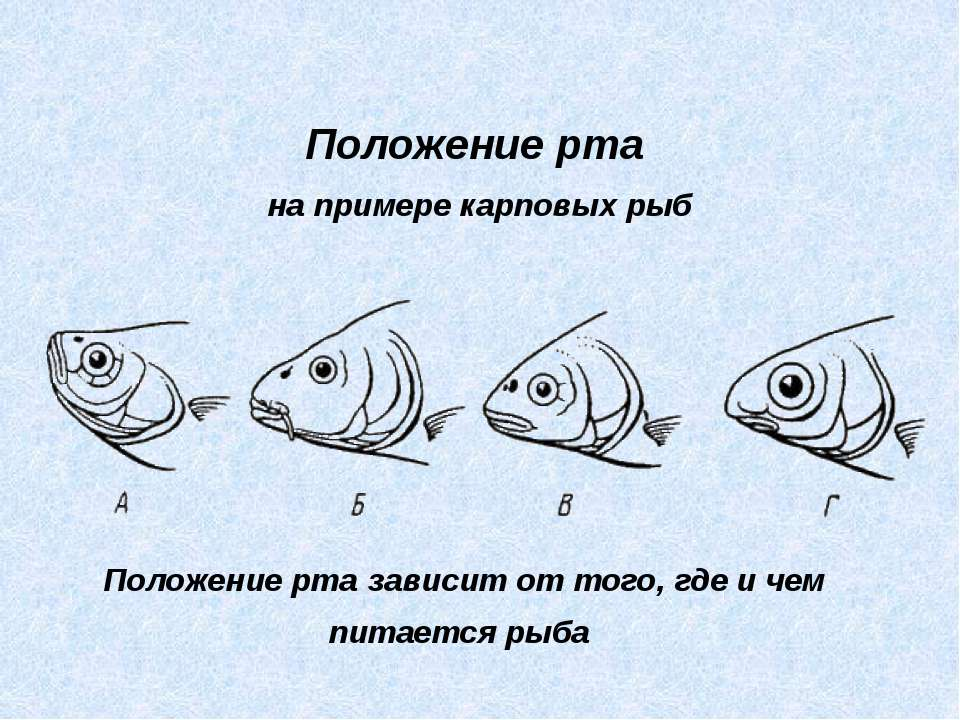Положение рта на примере карповых рыб Положение рта зависит от того, где и че...