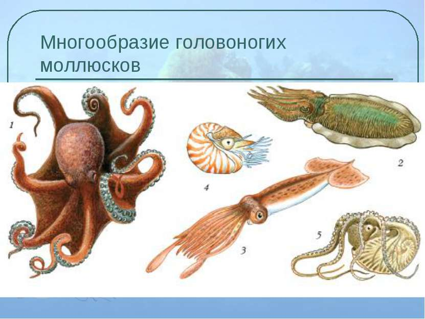 Многообразие головоногих моллюсков