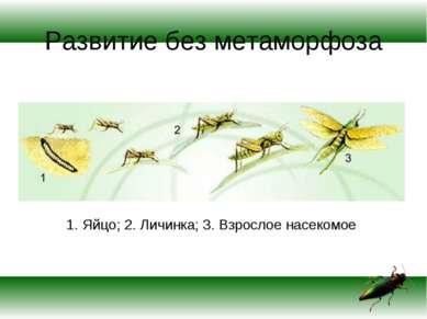 Развитие без метаморфоза 1. Яйцо; 2. Личинка; 3. Взрослое насекомое