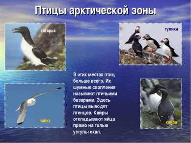 Птицы арктической зоны тупики кайра В этих местах птиц больше всего. Их шумны...