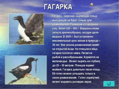 ГАГАРКА Гагарка – морская, ныряющая птица, выходящая на берег только для разм...