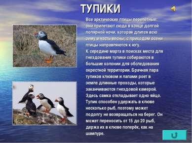 ТУПИКИ Все арктические птицы перелётные: они прилетают сюда в конце долгой по...