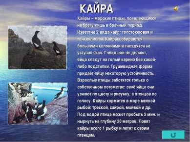КАЙРА Кайры – морские птицы, появляющиеся на брегу лишь в брачный период. Изв...