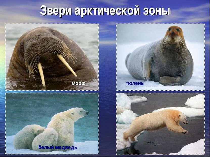 Звери арктической зоны морж тюлень белый медведь