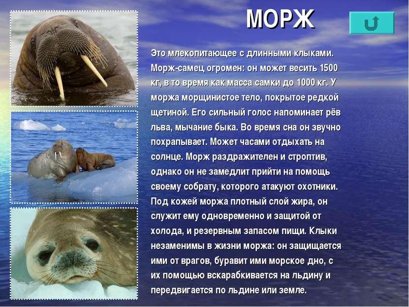 МОРЖ Это млекопитающее с длинными клыками. Морж-самец огромен: он может весит...