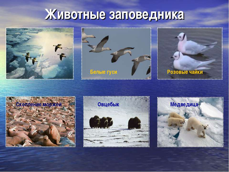 Животные заповедника Белые гуси Медведица Скопление моржей Овцебык Розовые чайки