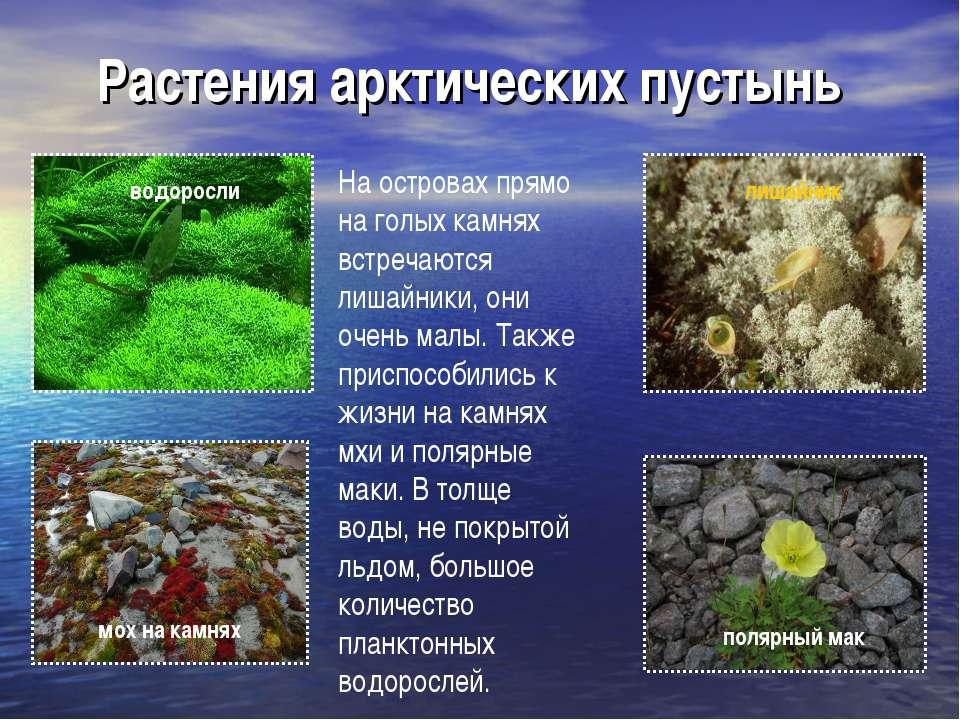 Растения арктических пустынь водоросли полярный мак мох на камнях лишайник На...