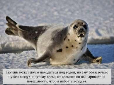 Тюлень может долго находиться под водой, но ему обязательно нужен воздух, поэ...
