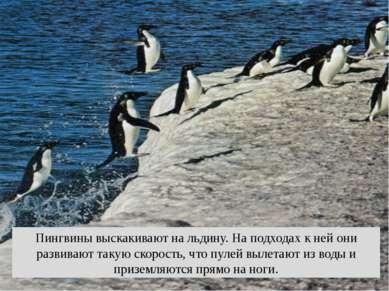 Пингвины выскакивают на льдину. На подходах к ней они развивают такую скорост...