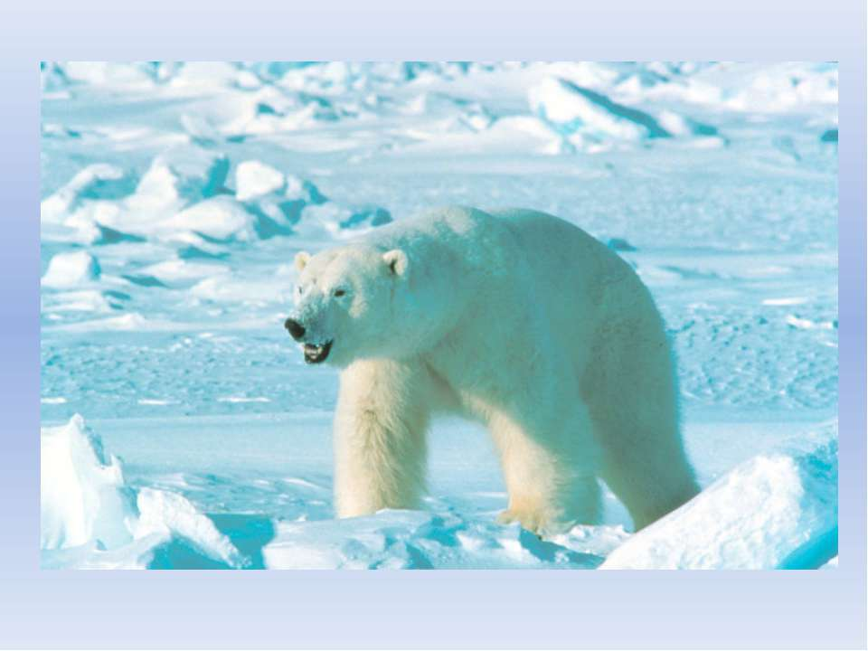 Среди снегов и льда не голодает, За рыбой в холодную воду ныряет, Густая бела...