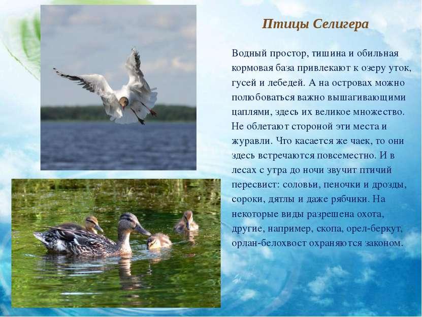 Птицы Селигера Водный простор, тишина и обильная кормовая база привлекают к о...