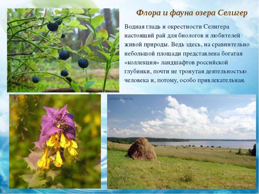 Флора и фауна озера Селигер Водная гладь и окрестности Селигера настоящий рай...