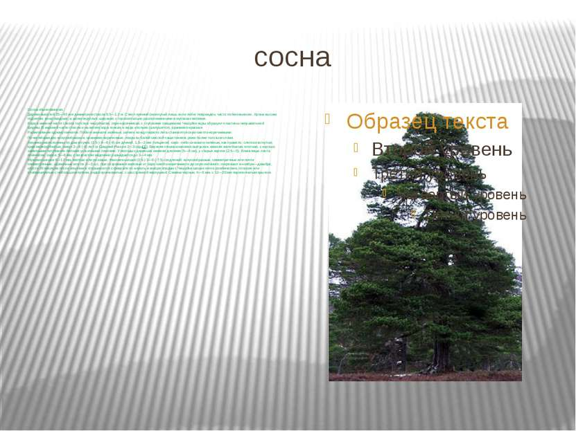 сосна Сосна обыкновенная. Дерево высотой 25—40м и диаметром ствола 0,5—1,2м...