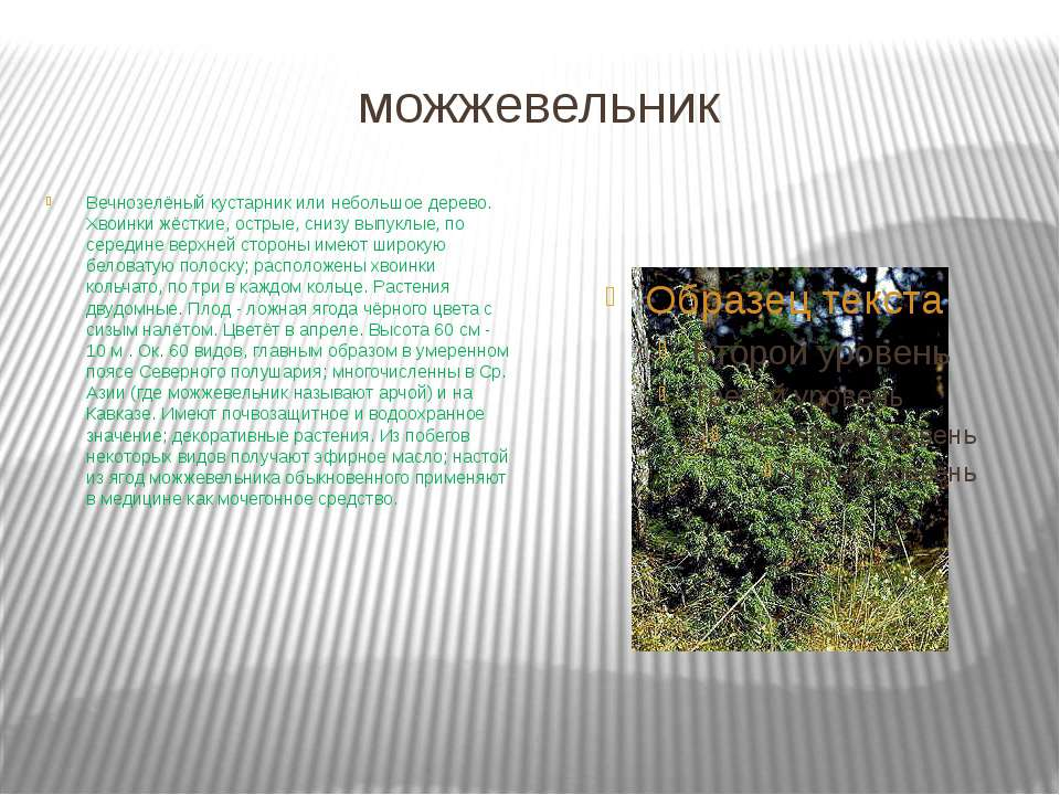 можжевельник Вечнозелёный кустарник или небольшое дерево. Хвоинки жёсткие, ос...