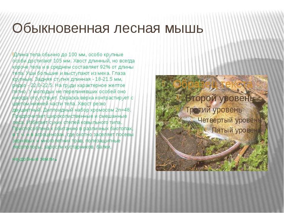 Обыкновенная лесная мышь Длина тела обычно до 100 мм, особо крупные особи дос...