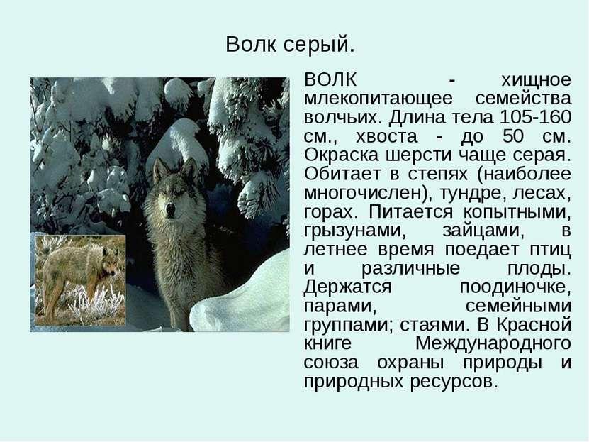 Волк серый. ВОЛК - хищное млекопитающее семейства волчьих. Длина тела 105-160...