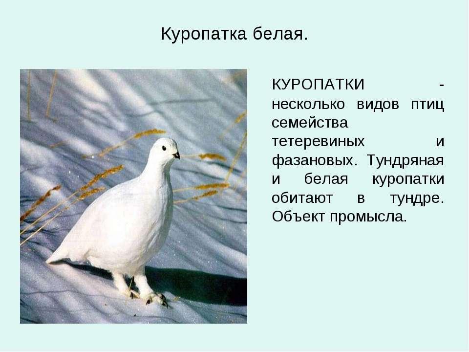 Куропатка белая. КУРОПАТКИ - несколько видов птиц семейства тетеревиных и фаз...