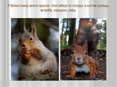 У белки очень много врагов. Они гибнут от голода, в когтях куницы, ястреба, к...