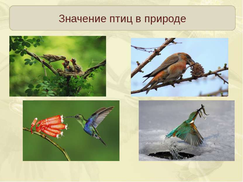 Значение птиц в природе Регулируют численность насекомых и мелких грызунов Ра...