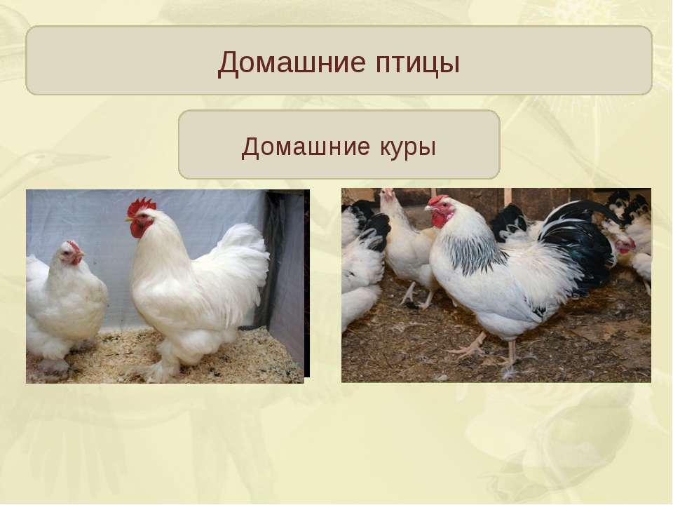 Домашние птицы Домашние куры Яйценосные породы 200-300 яиц в год Общепользова...