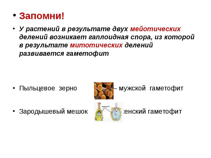 Запомни! У растений в результате двух мейотических делений возникает гаплоидн...