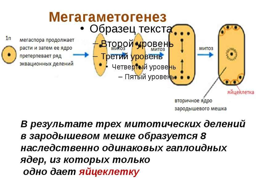 В результате трех митотических делений в зародышевом мешке образуется 8 насле...