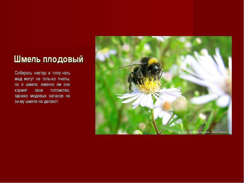 Шмель плодовый Собирать нектар и полу-чать мед могут не толь-ко пчелы, но и ш...