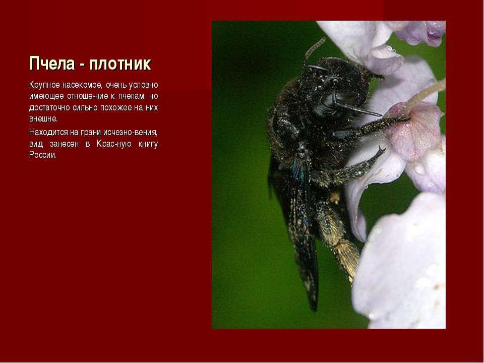 Пчела - плотник Крупное насекомое, очень условно имеющее отноше-ние к пчелам,...